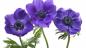 Anemon Çiçeği Kreminin Faydaları